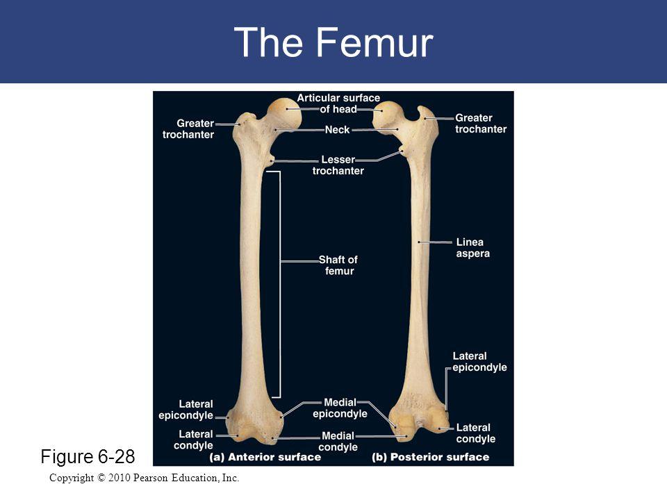 Copyright © 2010 Pearson Education, Inc. The Femur Figure 6-28