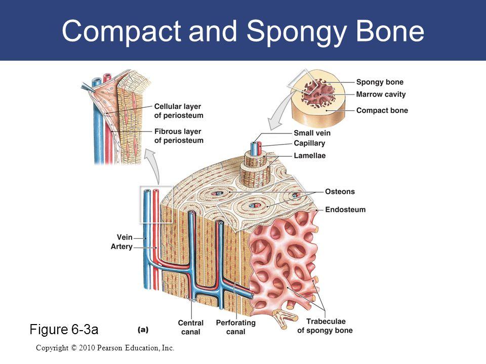 Copyright © 2010 Pearson Education, Inc. Compact and Spongy Bone Figure 6-3a