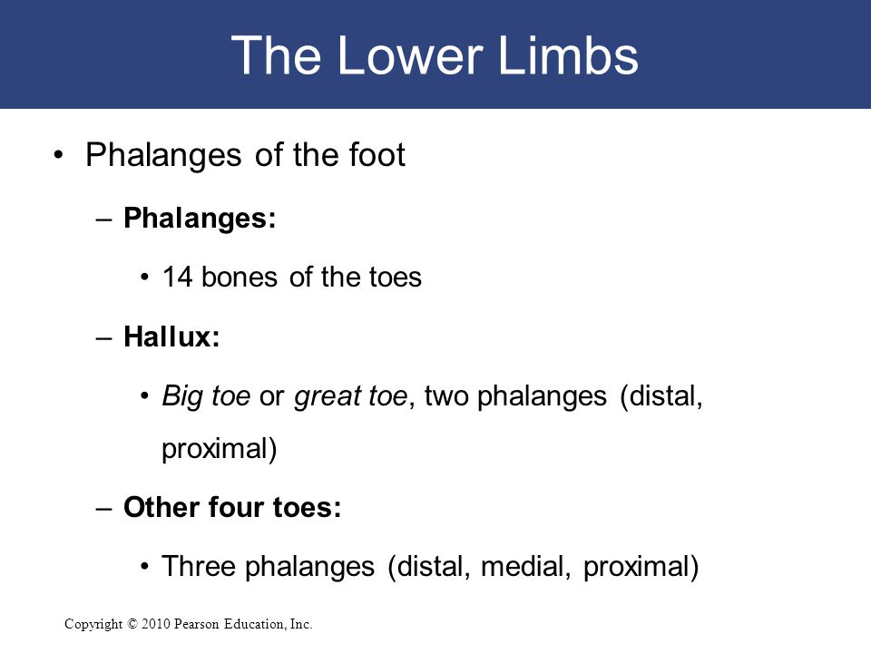 Copyright © 2010 Pearson Education, Inc. The Lower Limbs Phalanges of the foot –Phalanges: 14 bones of the toes –Hallux: Big toe or great toe, two pha