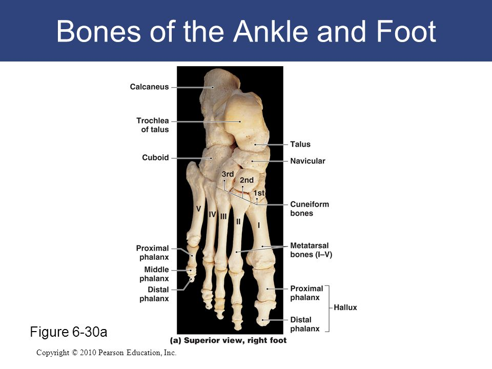 Copyright © 2010 Pearson Education, Inc. Bones of the Ankle and Foot Figure 6-30a