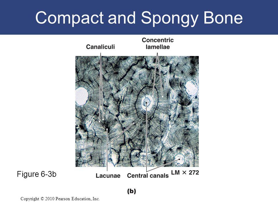 Copyright © 2010 Pearson Education, Inc. Compact and Spongy Bone Figure 6-3b