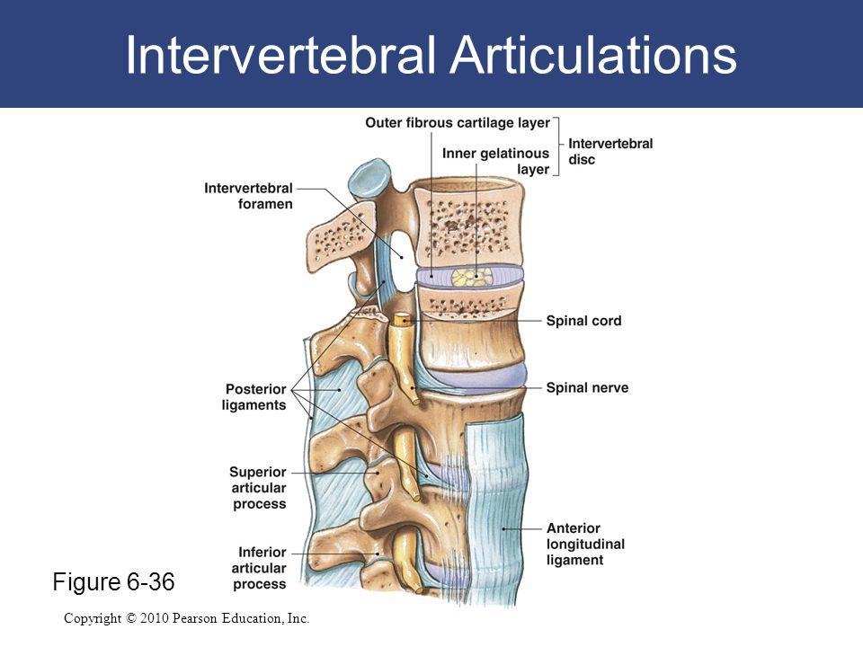 Copyright © 2010 Pearson Education, Inc. Intervertebral Articulations Figure 6-36