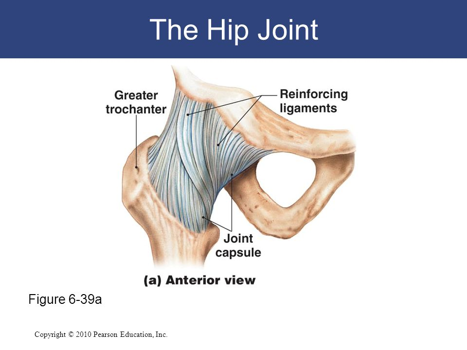 Copyright © 2010 Pearson Education, Inc. The Hip Joint Figure 6-39a