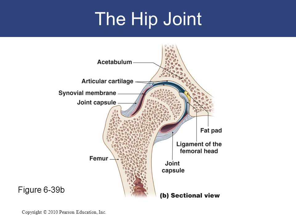 Copyright © 2010 Pearson Education, Inc. The Hip Joint Figure 6-39b