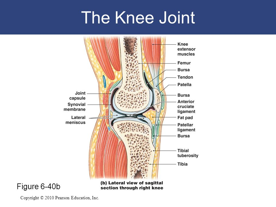 Copyright © 2010 Pearson Education, Inc. The Knee Joint Figure 6-40b