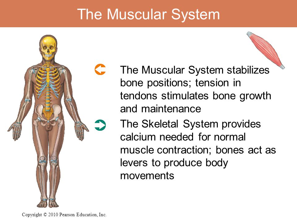The Muscular System The Muscular System stabilizes bone positions; tension in tendons stimulates bone growth and maintenance The Skeletal System provi