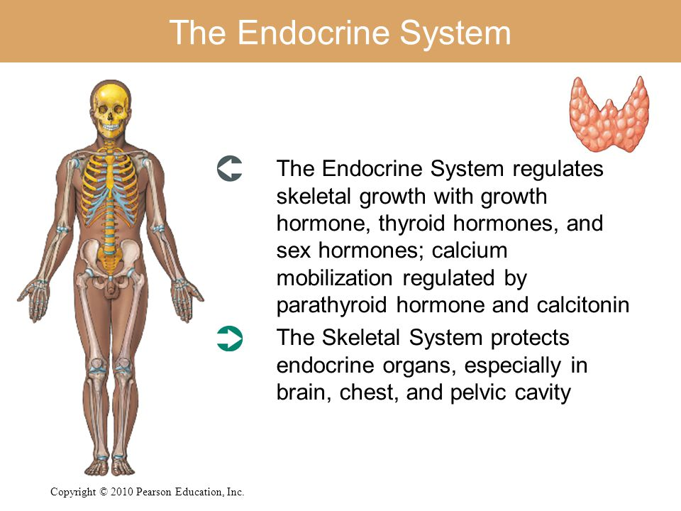 The Endocrine System The Endocrine System regulates skeletal growth with growth hormone, thyroid hormones, and sex hormones; calcium mobilization regu