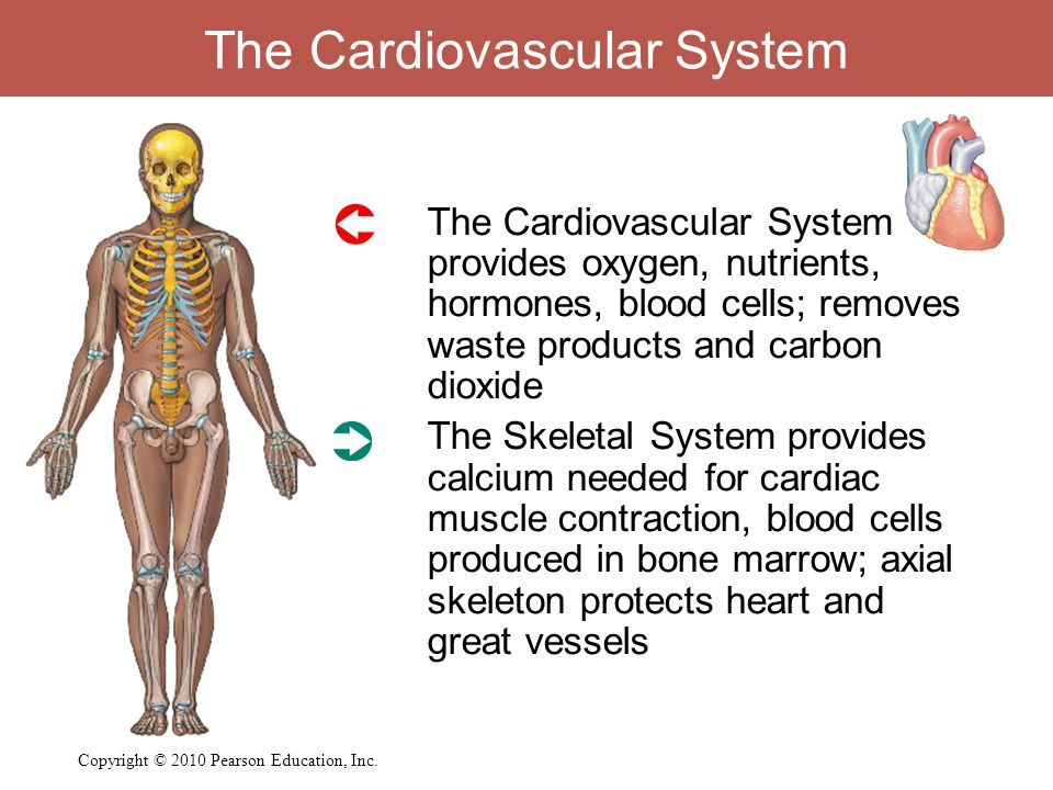 The Cardiovascular System  The Cardiovascular System provides oxygen, nutrients, hormones, blood cells; removes waste products and carbon dioxide  T