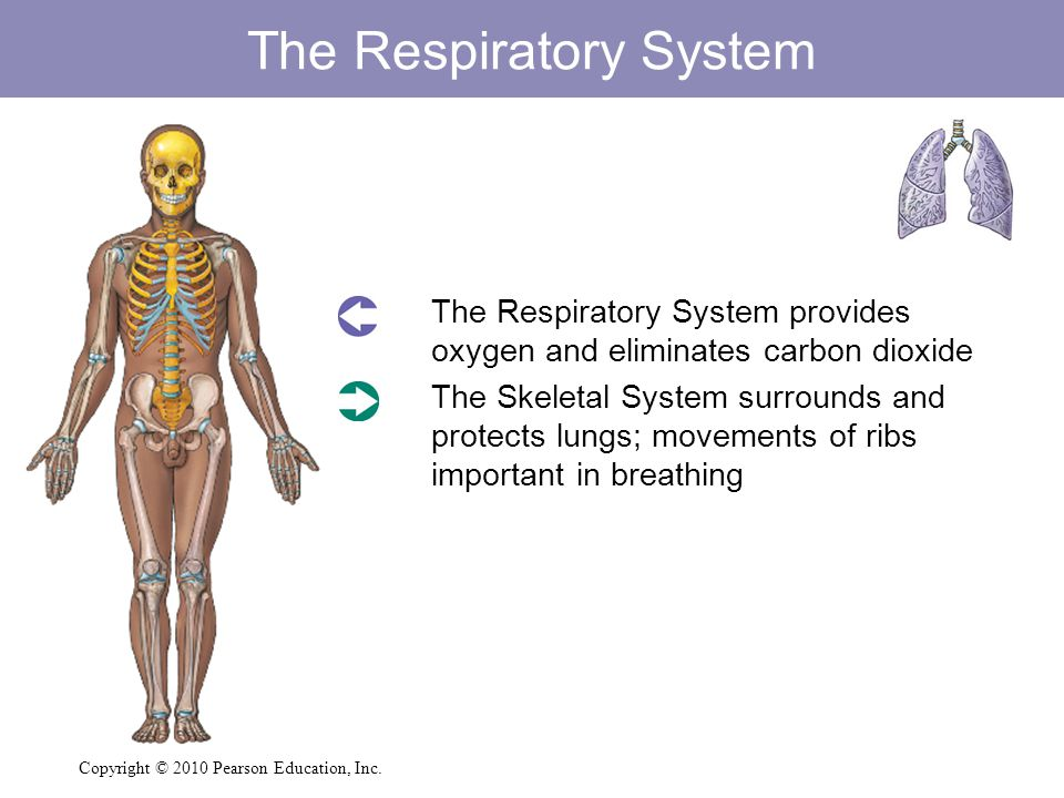 The Respiratory System  The Respiratory System provides oxygen and eliminates carbon dioxide  The Skeletal System surrounds and protects lungs; move