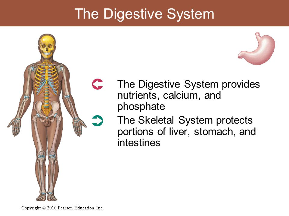The Digestive System  The Digestive System provides nutrients, calcium, and phosphate  The Skeletal System protects portions of liver, stomach, and