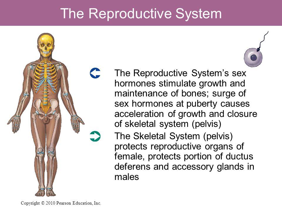 The Reproductive System  The Reproductive System's sex hormones stimulate growth and maintenance of bones; surge of sex hormones at puberty causes ac