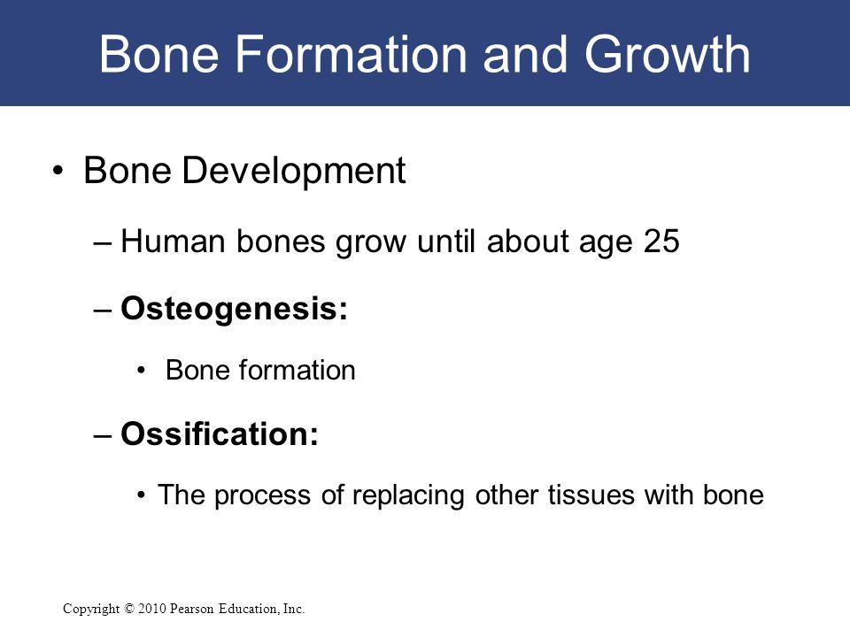 Copyright © 2010 Pearson Education, Inc. Bone Formation and Growth Bone Development –Human bones grow until about age 25 –Osteogenesis: Bone formation