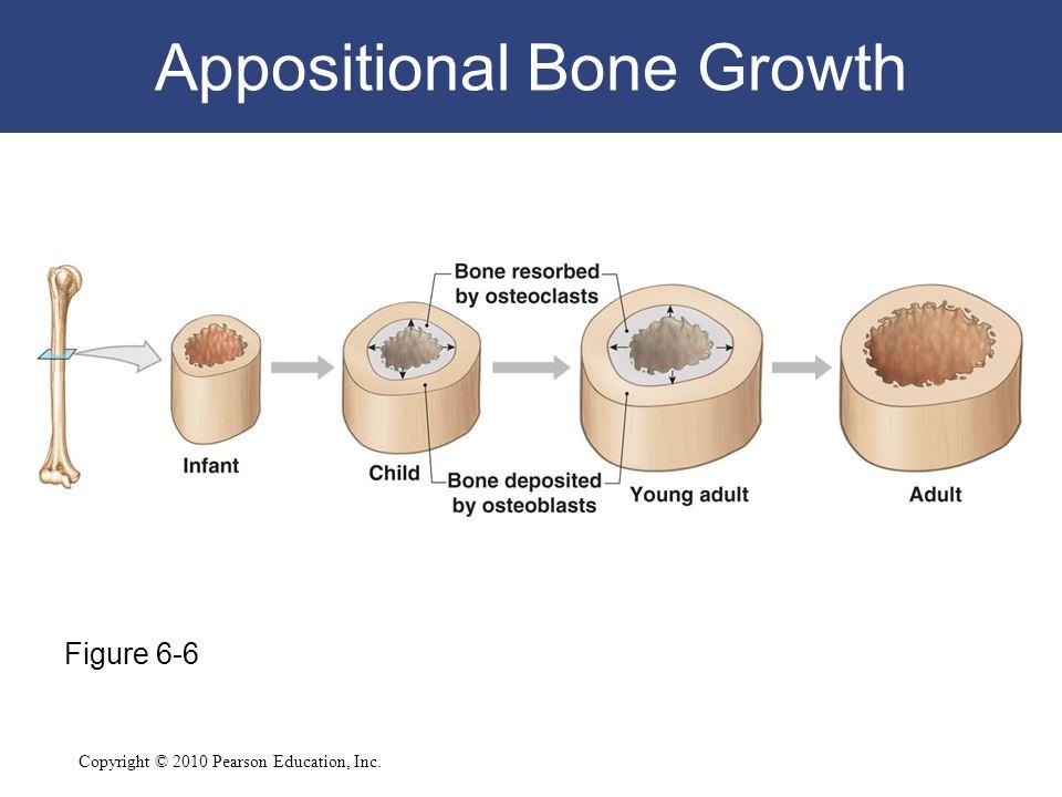 Copyright © 2010 Pearson Education, Inc. Appositional Bone Growth Figure 6-6