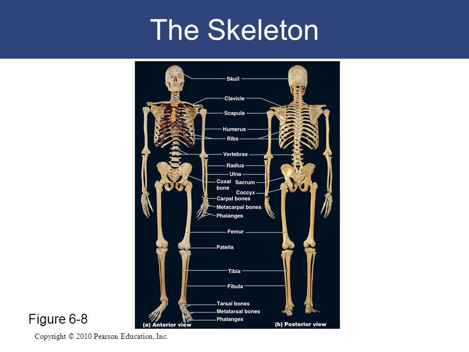 The Skeleton Figure 6-8