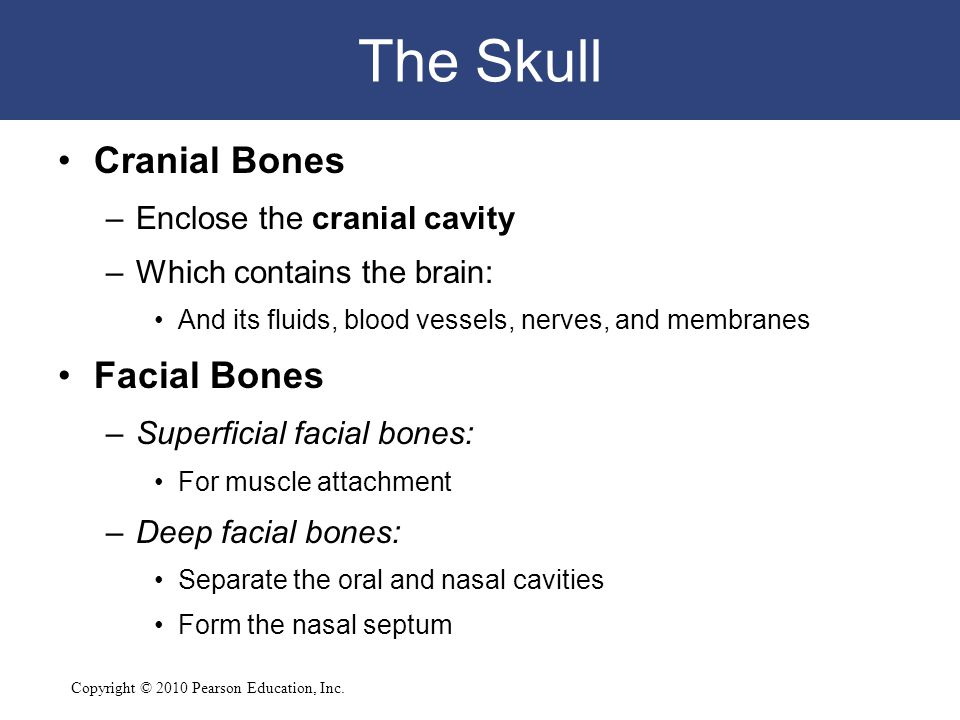 Copyright © 2010 Pearson Education, Inc. The Skull Cranial Bones –Enclose the cranial cavity –Which contains the brain: And its fluids, blood vessels,