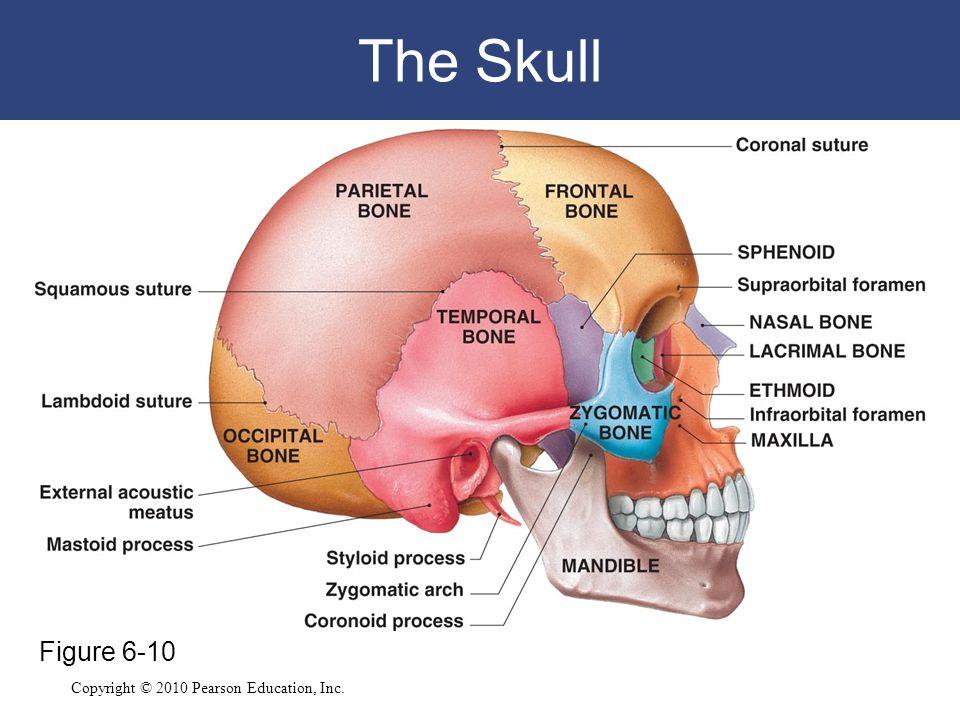 Copyright © 2010 Pearson Education, Inc. The Skull Figure 6-10