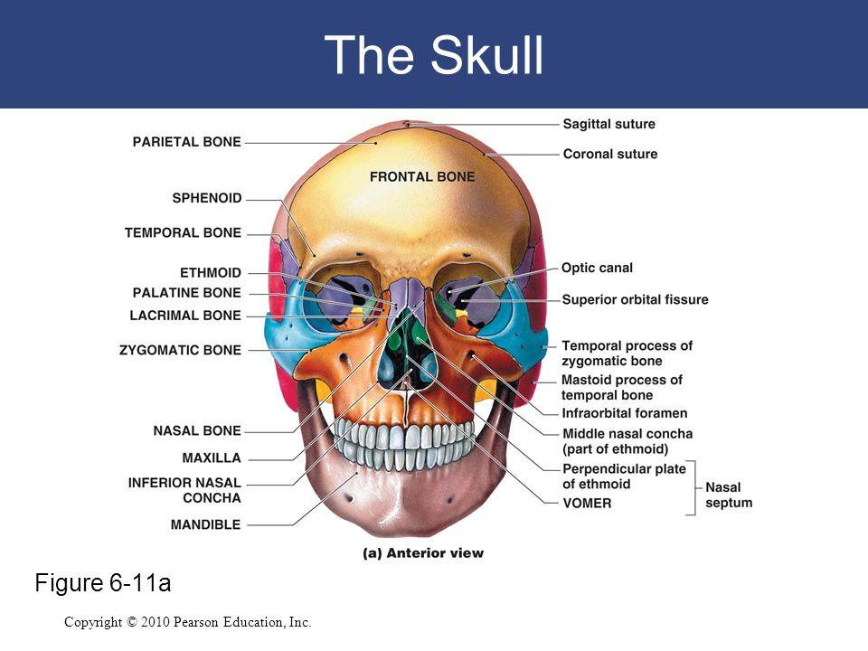 Copyright © 2010 Pearson Education, Inc. The Skull Figure 6-11a