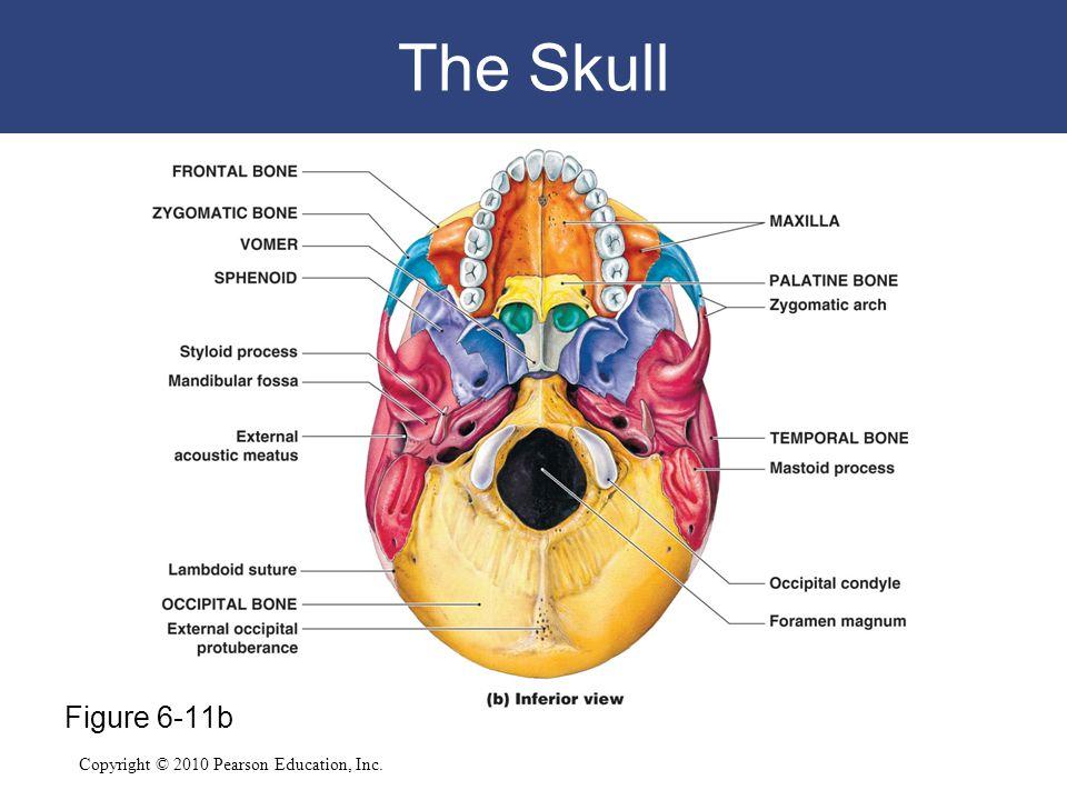 Copyright © 2010 Pearson Education, Inc. The Skull Figure 6-11b