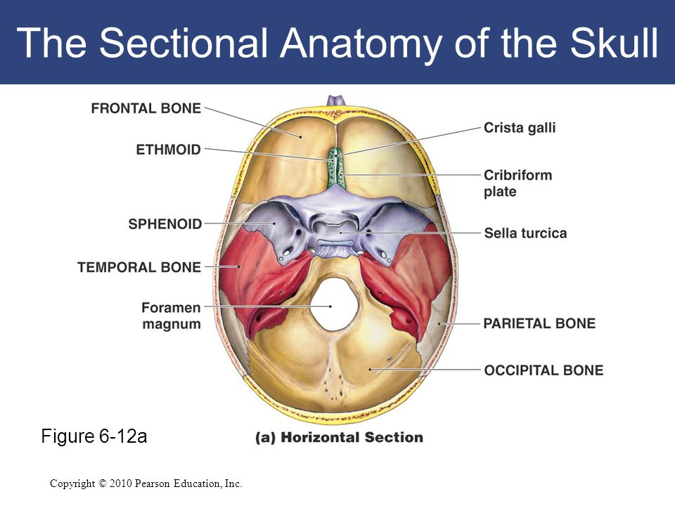 Copyright © 2010 Pearson Education, Inc. The Sectional Anatomy of the Skull Figure 6-12a