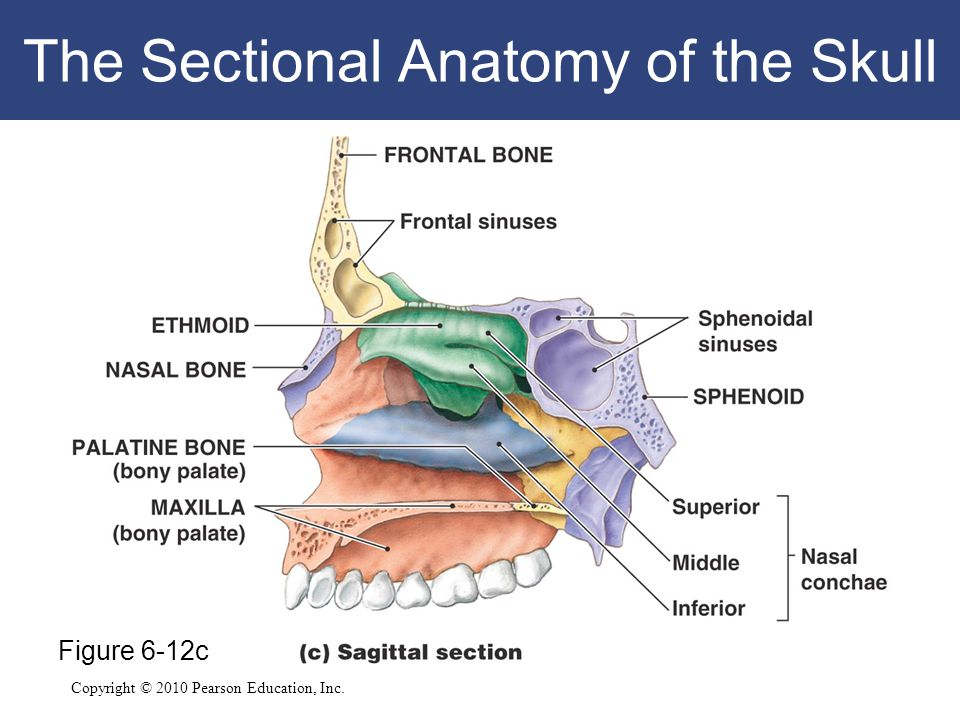 Copyright © 2010 Pearson Education, Inc. The Sectional Anatomy of the Skull Figure 6-12c