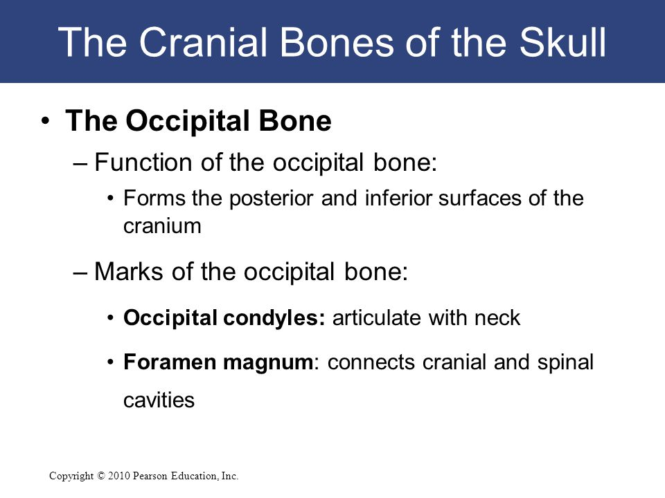 Copyright © 2010 Pearson Education, Inc. The Cranial Bones of the Skull The Occipital Bone –Function of the occipital bone: Forms the posterior and in