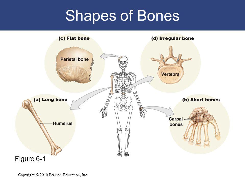 Copyright © 2010 Pearson Education, Inc. Shapes of Bones Figure 6-1