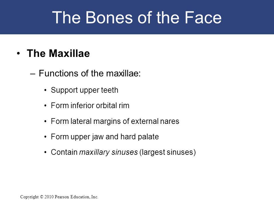 Copyright © 2010 Pearson Education, Inc. The Bones of the Face The Maxillae –Functions of the maxillae: Support upper teeth Form inferior orbital rim