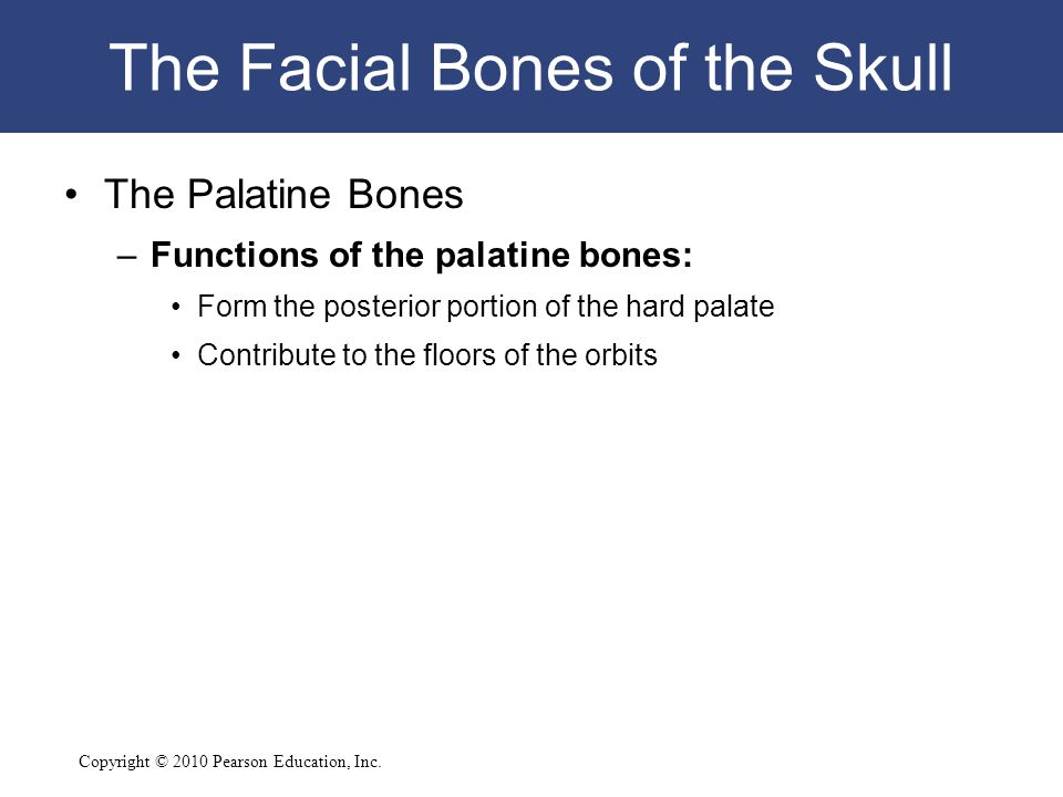 Copyright © 2010 Pearson Education, Inc. The Facial Bones of the Skull The Palatine Bones –Functions of the palatine bones: Form the posterior portion