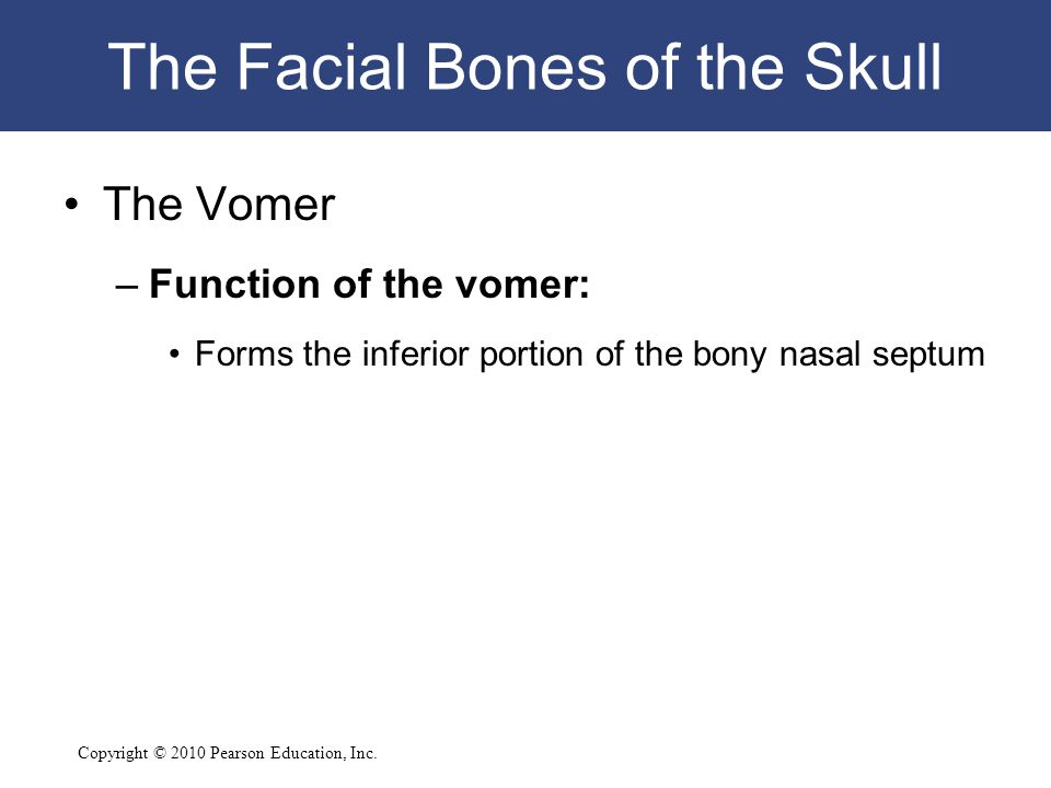 Copyright © 2010 Pearson Education, Inc. The Facial Bones of the Skull The Vomer –Function of the vomer: Forms the inferior portion of the bony nasal