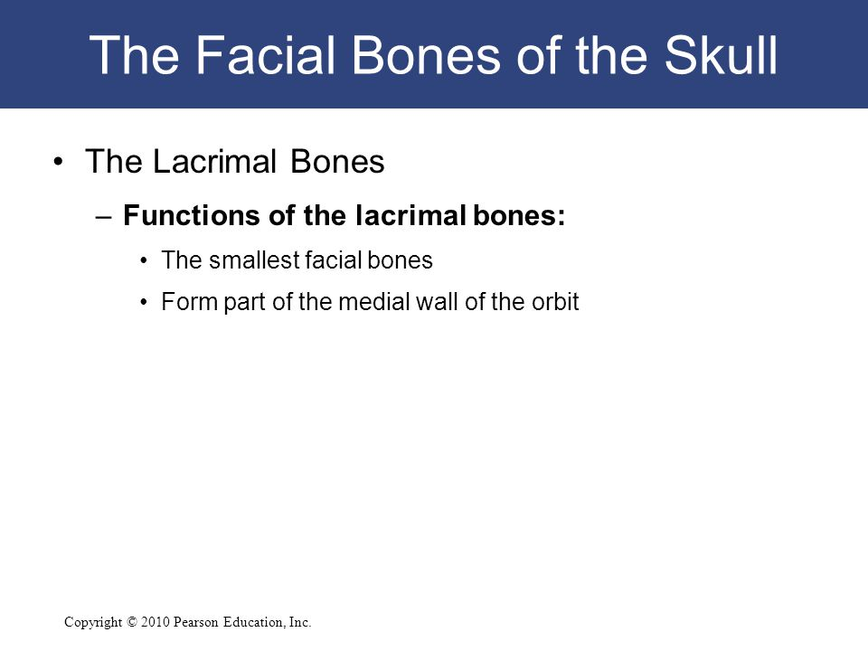 Copyright © 2010 Pearson Education, Inc. The Facial Bones of the Skull The Lacrimal Bones –Functions of the lacrimal bones: The smallest facial bones