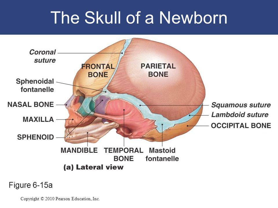Copyright © 2010 Pearson Education, Inc. The Skull of a Newborn Figure 6-15a