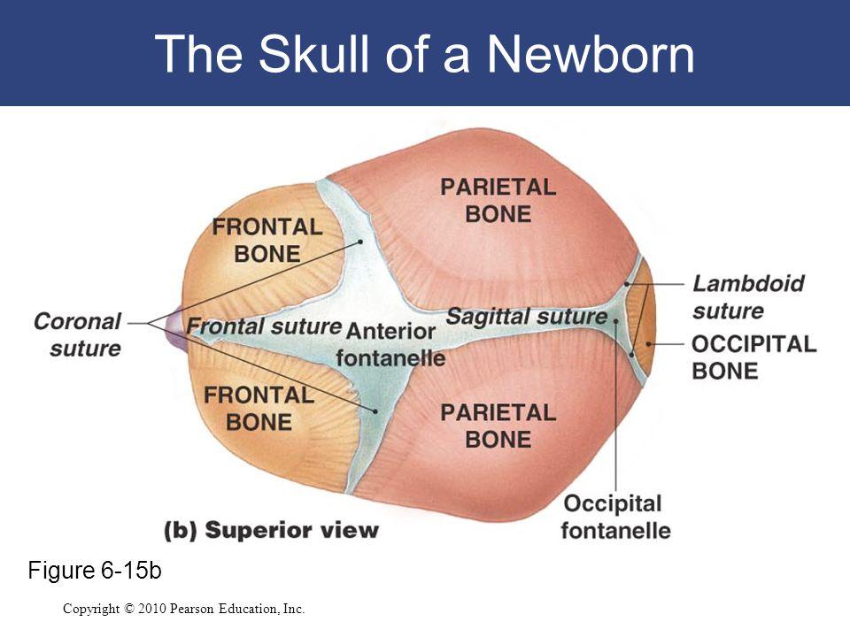 Copyright © 2010 Pearson Education, Inc. The Skull of a Newborn Figure 6-15b