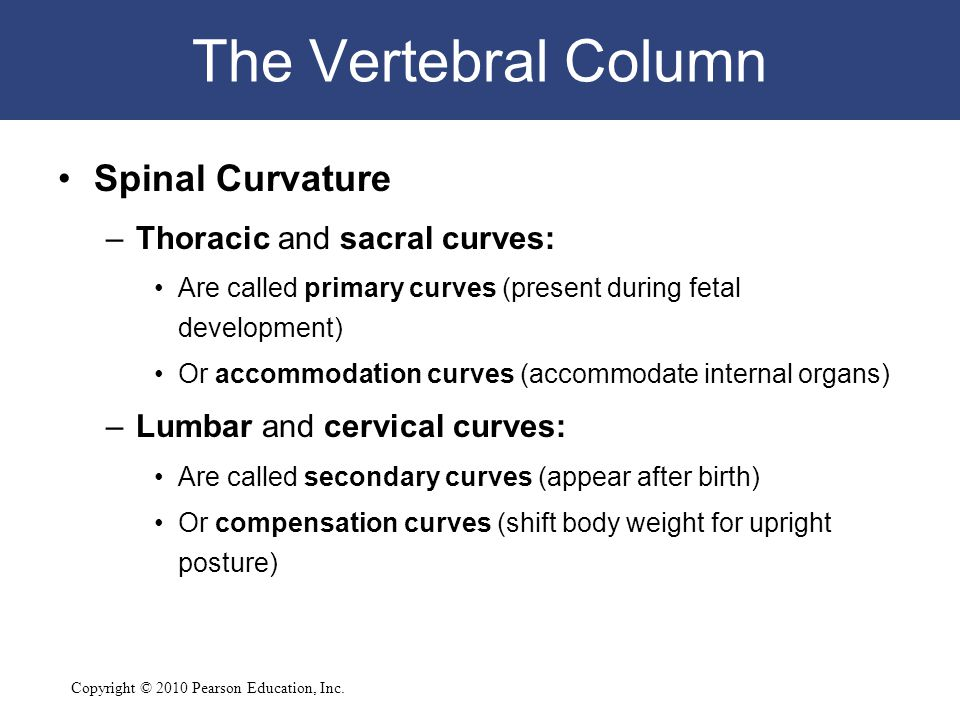 Copyright © 2010 Pearson Education, Inc. The Vertebral Column Spinal Curvature –Thoracic and sacral curves: Are called primary curves (present during