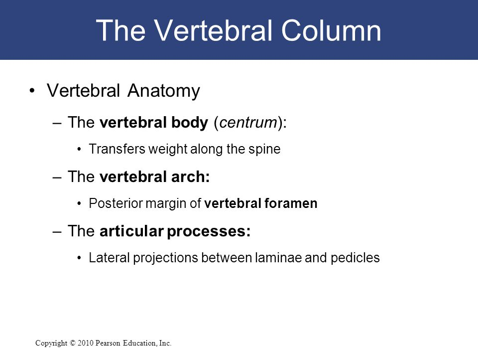 Copyright © 2010 Pearson Education, Inc. The Vertebral Column Vertebral Anatomy –The vertebral body (centrum): Transfers weight along the spine –The v