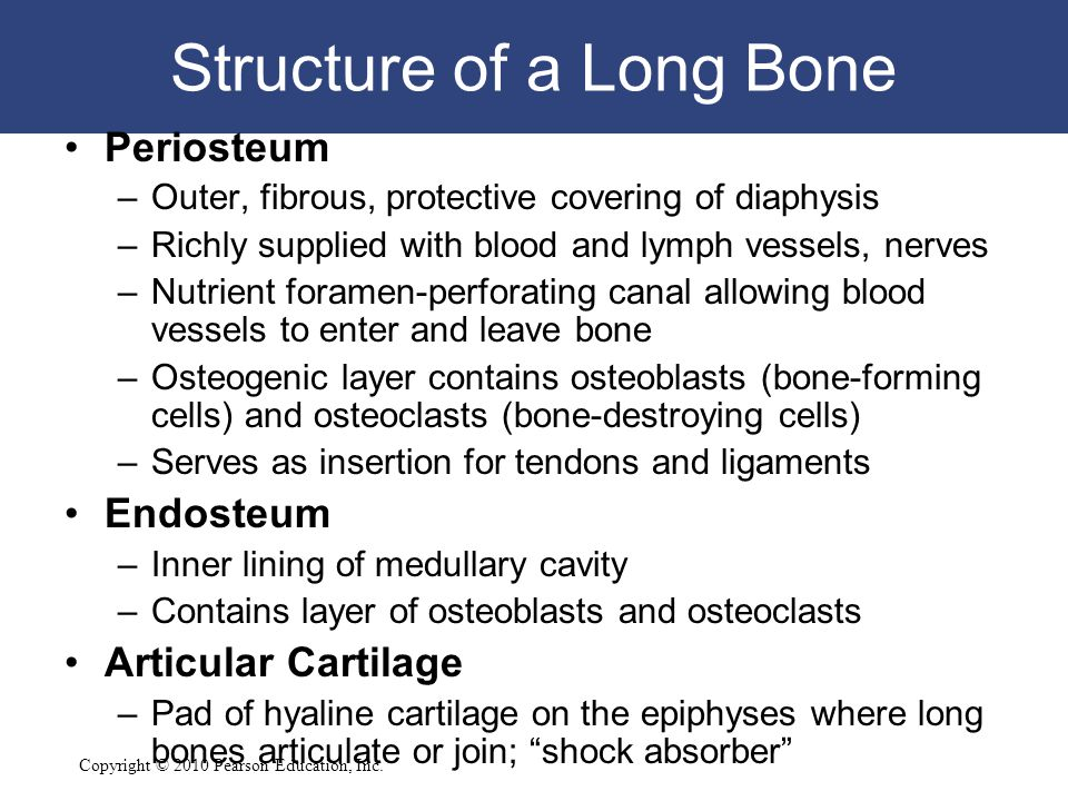 Copyright © 2010 Pearson Education, Inc. Structure of a Long Bone Periosteum –Outer, fibrous, protective covering of diaphysis –Richly supplied with b