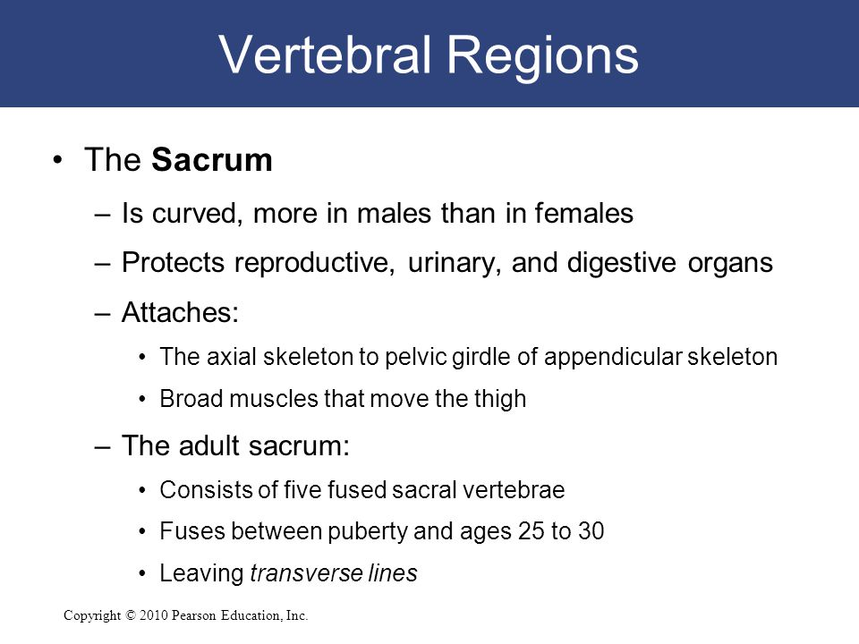 Copyright © 2010 Pearson Education, Inc. Vertebral Regions The Sacrum –Is curved, more in males than in females –Protects reproductive, urinary, and d