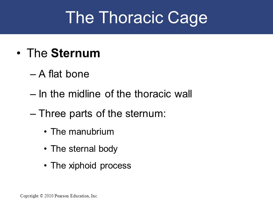 Copyright © 2010 Pearson Education, Inc. The Thoracic Cage The Sternum –A flat bone –In the midline of the thoracic wall –Three parts of the sternum: