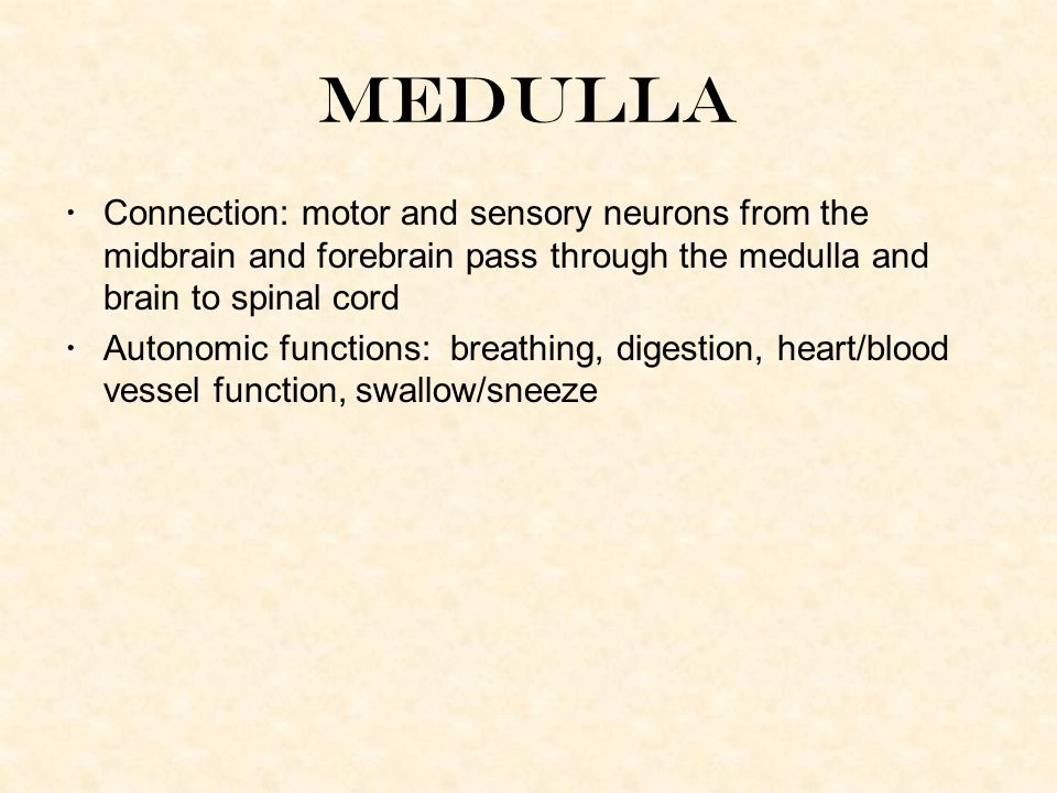 Medulla Connection: motor and sensory neurons from the midbrain and forebrain pass through the medulla and brain to spinal cord Autonomic functions: breathing, digestion, heart/blood vessel function, swallow/sneeze