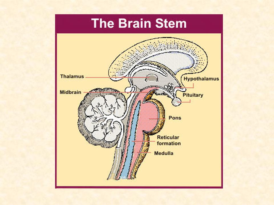 Determining Brain Death Step 1: Irreversible and Proximate Causes of Coma – Exclude drugs including etoh above the legal limit, sedatives (trauma tox screen) – No recent or persistent neuromuscular blocking agents – No severe electrolyte, acid-base, or endocrine disturbance Our patient: +etoh, K+ low, glucose high