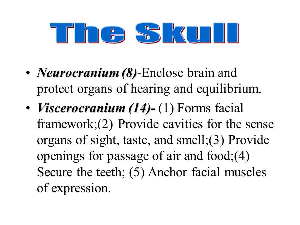 Neurocranium (8)Neurocranium (8)-Enclose brain and protect organs of hearing and equilibrium. Viscerocranium (14)-Viscerocranium (14)- (1) Forms facia