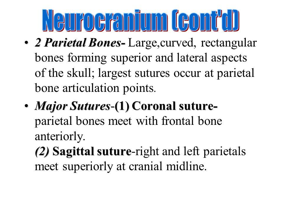2 Parietal Bones-2 Parietal Bones- Large,curved, rectangular bones forming superior and lateral aspects of the skull; largest sutures occur at parieta