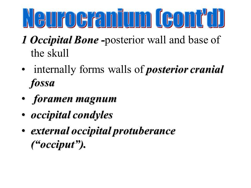 1 Occipital Bone - 1 Occipital Bone -posterior wall and base of the skull posterior cranial fossa internally forms walls of posterior cranial fossa fo