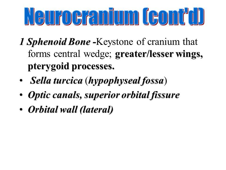 1 Sphenoid Bone - greater/lesser wings, pterygoid processes. 1 Sphenoid Bone -Keystone of cranium that forms central wedge; greater/lesser wings, pter
