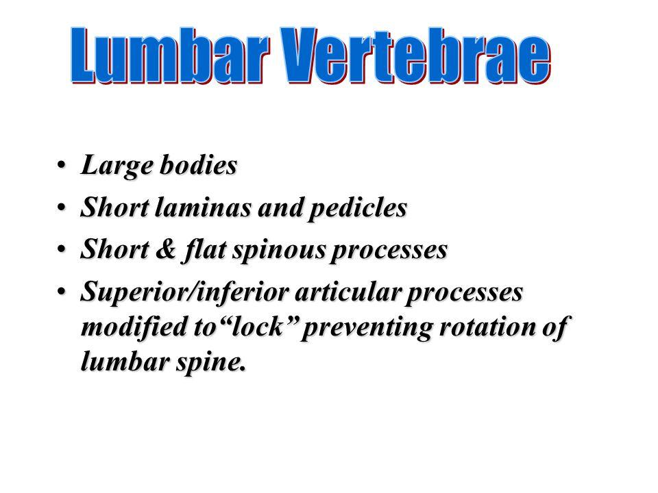 Large bodiesLarge bodies Short laminas and pediclesShort laminas and pedicles Short & flat spinous processesShort & flat spinous processes Superior/in