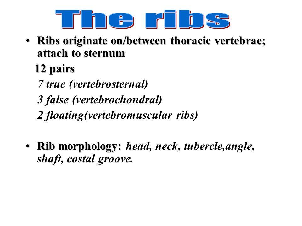Ribs originate on/between thoracic vertebrae; attach to sternumRibs originate on/between thoracic vertebrae; attach to sternum 12 pairs 12 pairs 7 tru