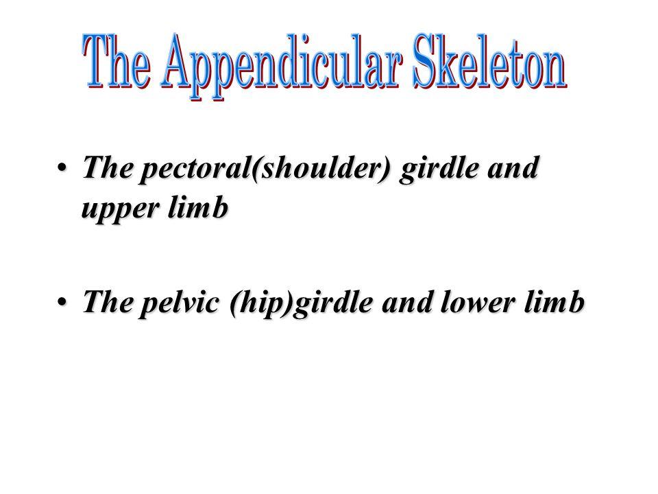 The pectoral(shoulder) girdle and upper limbThe pectoral(shoulder) girdle and upper limb The pelvic (hip)girdle and lower limbThe pelvic (hip)girdle a