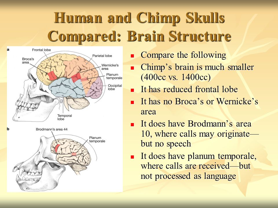 Human and Chimp Skulls Compared: Brain Structure Compare the following Compare the following Chimp's brain is much smaller (400cc vs.