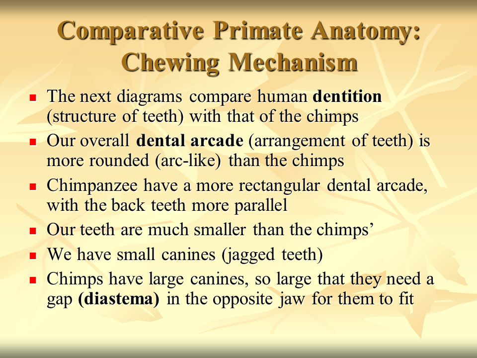 Comparative Primate Anatomy: Chewing Mechanism The next diagrams compare human dentition (structure of teeth) with that of the chimps The next diagrams compare human dentition (structure of teeth) with that of the chimps Our overall dental arcade (arrangement of teeth) is more rounded (arc-like) than the chimps Our overall dental arcade (arrangement of teeth) is more rounded (arc-like) than the chimps Chimpanzee have a more rectangular dental arcade, with the back teeth more parallel Chimpanzee have a more rectangular dental arcade, with the back teeth more parallel Our teeth are much smaller than the chimps' Our teeth are much smaller than the chimps' We have small canines (jagged teeth) We have small canines (jagged teeth) Chimps have large canines, so large that they need a gap (diastema) in the opposite jaw for them to fit Chimps have large canines, so large that they need a gap (diastema) in the opposite jaw for them to fit