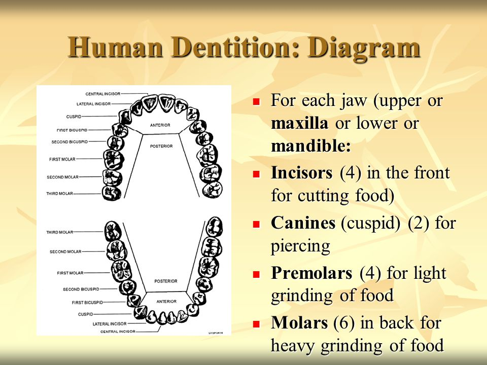 Human Dentition: Diagram For each jaw (upper or maxilla or lower or mandible: For each jaw (upper or maxilla or lower or mandible: Incisors (4) in the front for cutting food) Incisors (4) in the front for cutting food) Canines (cuspid) (2) for piercing Canines (cuspid) (2) for piercing Premolars (4) for light grinding of food Premolars (4) for light grinding of food Molars (6) in back for heavy grinding of food Molars (6) in back for heavy grinding of food