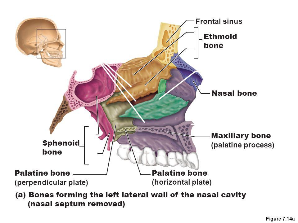 Figure 7.14a Maxillary bone (palatine process) Palatine bone (perpendicular plate) Palatine bone (horizontal plate) (a) Bones forming the left lateral wall of the nasal cavity (nasal septum removed) Sphenoid bone Frontal sinus Ethmoid bone Nasal bone